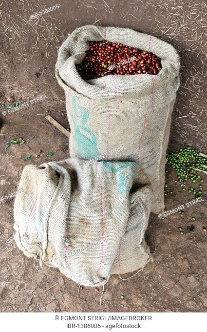 Fresh ripe coffee berries in a sack, Jimma, Kaffa region, Oromia, Ethiopia, Africa
