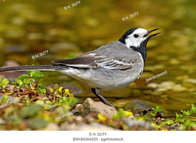 pied wagtail (Motacilla alba), drinking in the creek, Germany