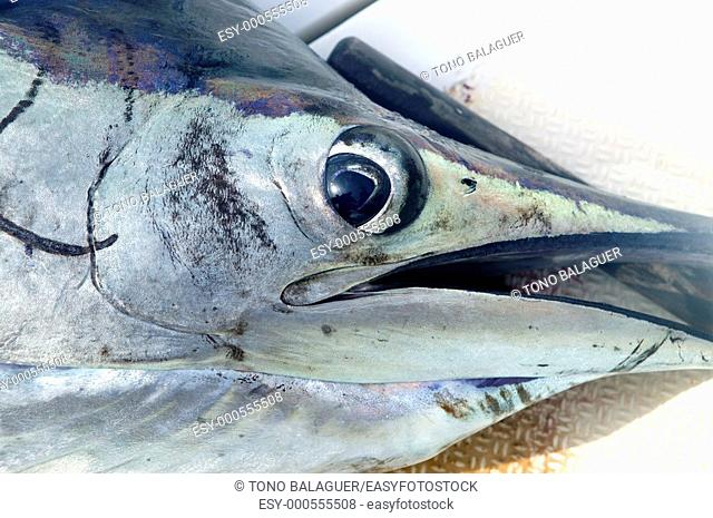Sailfish face macro closeup detail eye and mouth