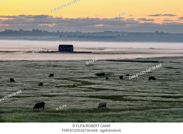 View of cattle and barn on coastal grazing marsh habitat in mist at sunrise, Elmley Marshes N.N.R., North Kent Marshes, Isle of Sheppey, Kent, England, July