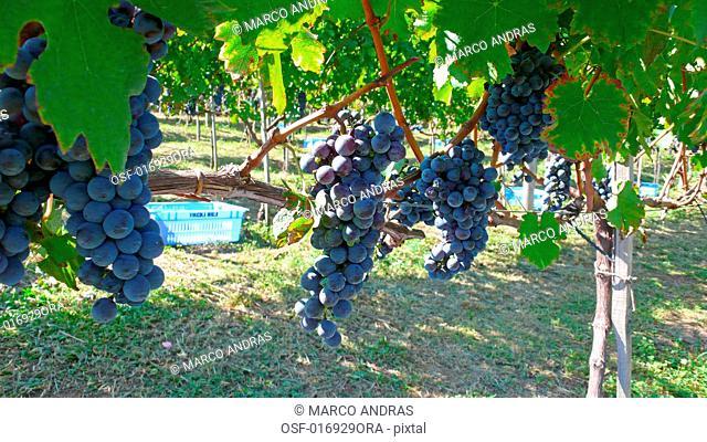 vineyards plantation