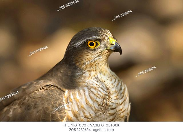 Sparrowhawk or Eurasian sparrowhawk, Accipiter nisus, Female, Pune, Maharashtra, India