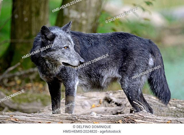 France, Moselle, Animal Park Saint Croix, Rhodes, Black Wolf (Canis lupus)