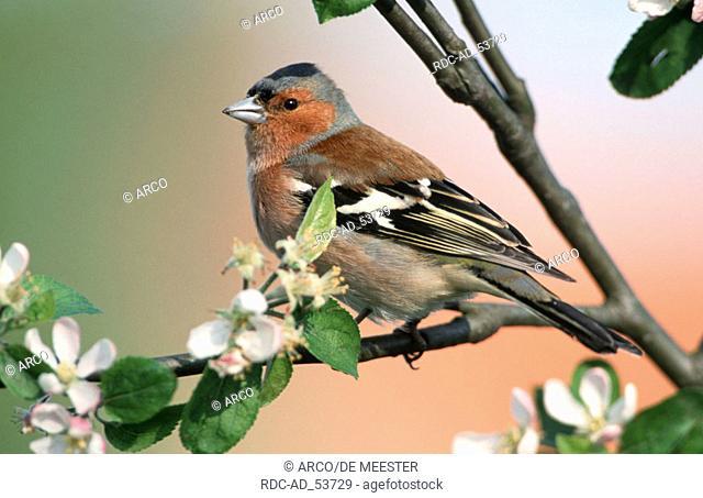 Chaffinch male Belgium Fringilla coelebs finches