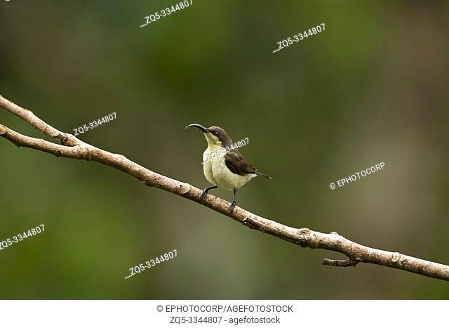 Loten's sunbird, female, Cinnyris lotenius, Western Ghats, India