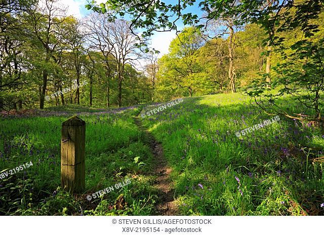 Bluebells, Newton Wood, North Yorkshire, North York Moors National Park, England, UK