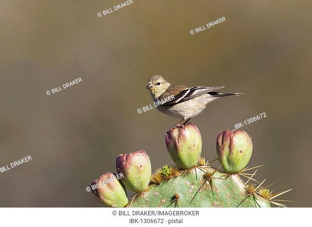 American Goldfinch (Carduelis tristis), adult on cactus tuna in winter plumage, Welder Wildlife Refuge, Sinton, Texas, USA