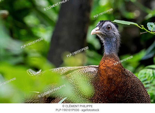 Great argus (Argusianus argus / Phasianus argus) Tropical pheasant species native to the jungle forest in Southeast Asia