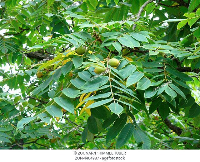 fruchtender Zweig