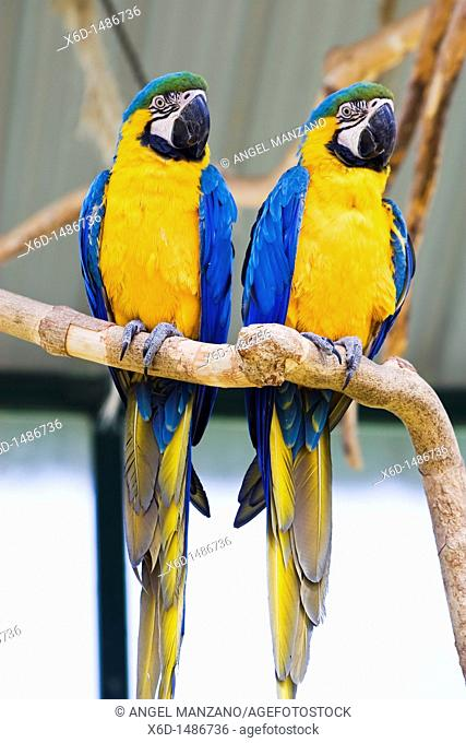 Couple of Parrot