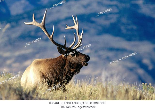 Adult male or bull Elk sitting in meadow at sunset bugling, Cervus elaphus, Yellowstone National Park, Wyoming, USA