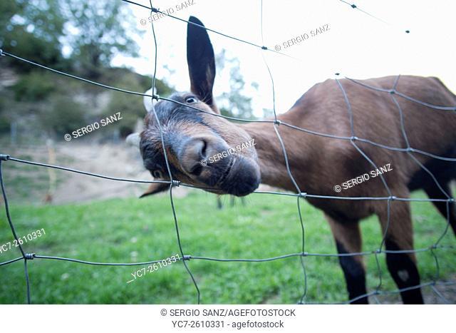 Curious donkey, Broto, Spain