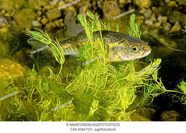 Eurasian minnow (Phoxinus phoxinus). Lake. Lago de la Cueva. Lagos de Somiedo. Asturias. Spain. Europe