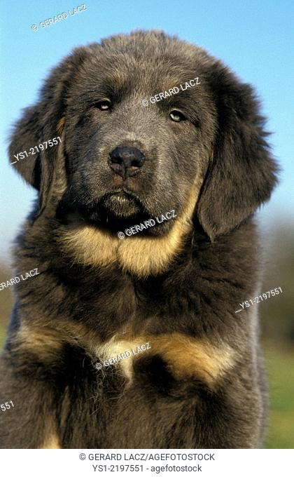 Tibetan Mastiff Dog, Portrait of Pup