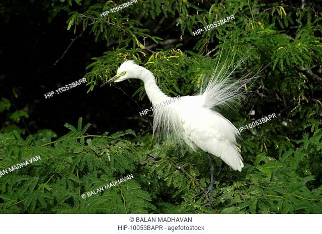 LITTLE EGRET IN BHARATPUR BIRD SANCTUARY, RAJASTHAN,INDIA