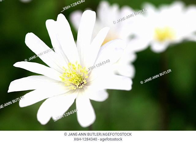 Early Flowering Apennine White Anemones, Beautiful Daisy-like Spring Flowers