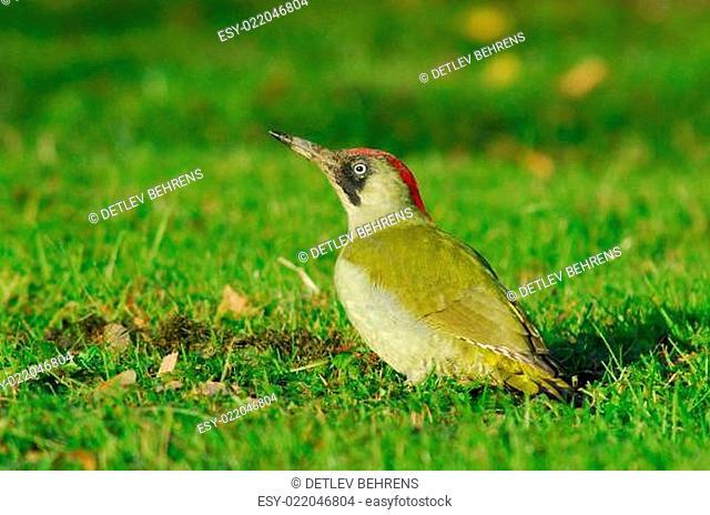 Grünspecht - Picus viridis