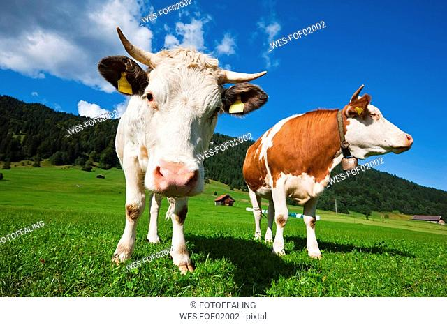 Germany, Bavaria, Two cows standing in field, close-up