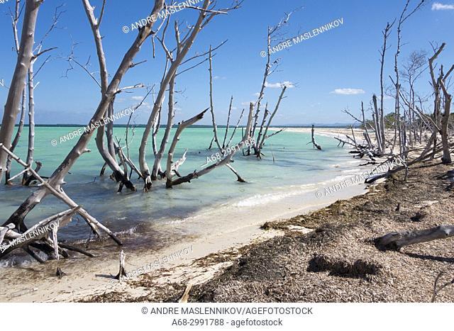 Dead mangrove trees on the beach, Cayo Levisa, Pinar del Río Province, Cuba