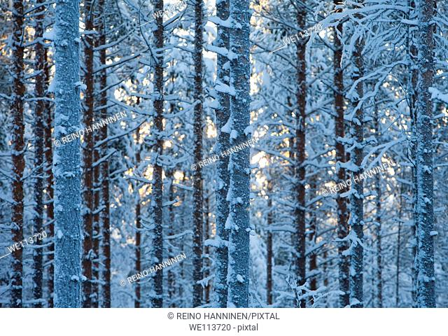Frost and snow covered young pine  pinus sylvestris  trees in the forest at Winter, LocationSuonenjoki,Finland,Scandinavia,Europe