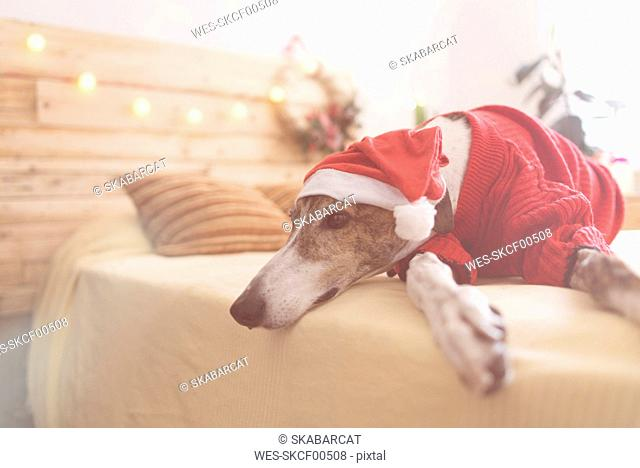 Greyhound lying on bed wearing red pullover and Santa hat