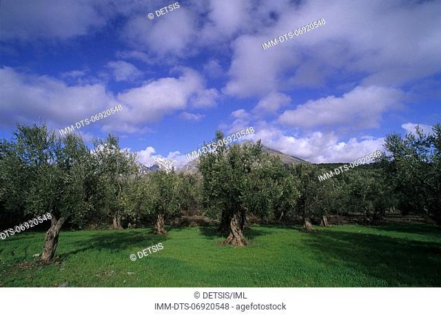 Olive trees near Makrylies , Samothrace, N E  Aegean, Greece