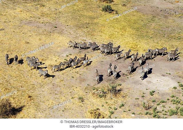 Burchell's Zebras (Equus quagga burchelli), aerial view, Okavango Delta, Moremi Game Reserve, Botswana