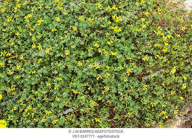 Cuernecillo de mar (Lotus creticus) is a perennial herb native to Mediterranean Basin coasts. This photo was taken in Benisafuller, Menorca, Balearic Islands