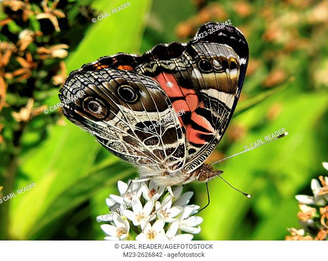 A red admiral butterfly, Vanessa atalanta, poses on a cluster of white flowers, Pennsylvania, USA