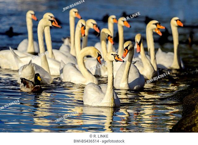 mute swan (Cygnus olor), group of Swans on water, Germany