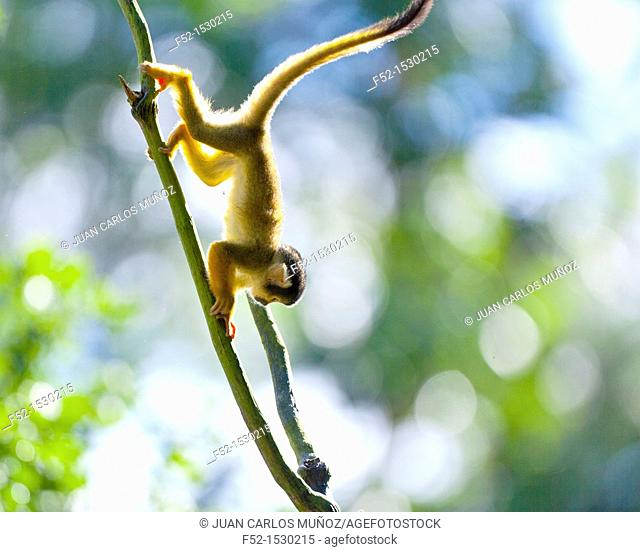 Squirrel monkey (Saimiri sp.)