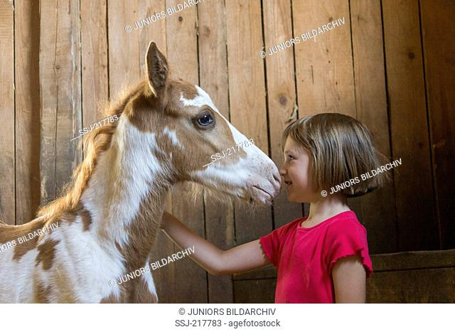 American Paint Horse. Girl fondling foal in a stable. Austria