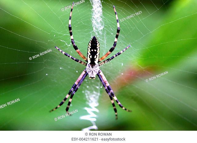 Black & Yellow Garden Spider Argiope aurantia female