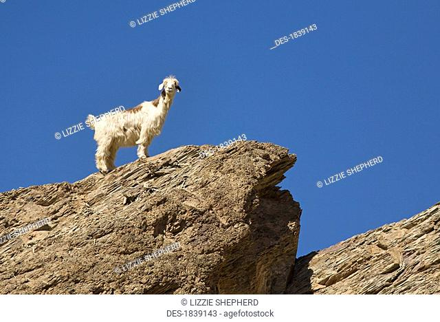 Nimble footed goat looking down from top of rock, Wadi as Sahtan, Hajjar Mountains, Oman