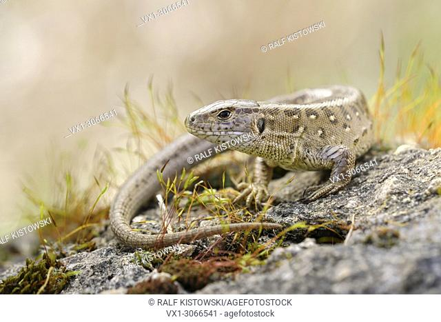 Sunbathing Sand Lizard (Lacerta agilis) sitting on some rocks surrounded by colourful moss, wildlife, Germany, Europe
