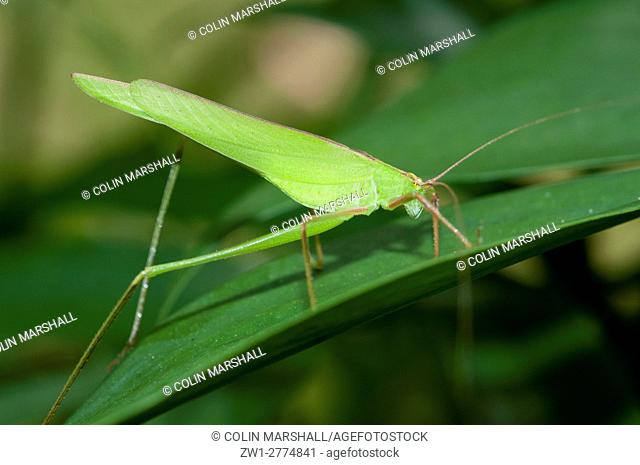 Katydid (aka Bush Cricket) (Orthoptera order, Tettigoniidae family), on leaf, lunkung, Bali, Indonesia