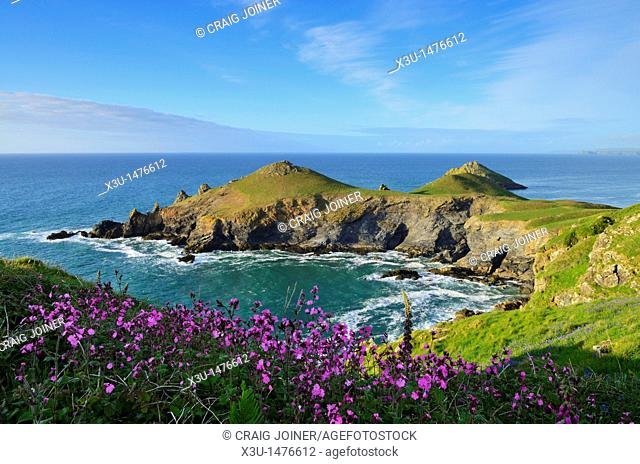 Red Campion growing on on the Pentire Headland overlooking Rumps Point near Polzeath, Cornwall, England, United Kingdom
