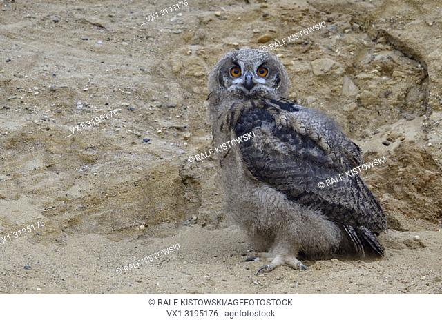 Eurasian Eagle Owl (Bubo bubo), small chick, owlet in sand pit, looking, moulting plumage, wildlife, Europe