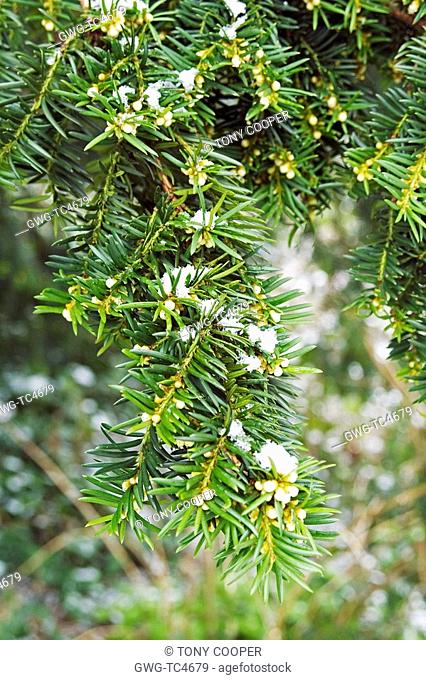 SNOW ON TAXUS BACCATA YEW