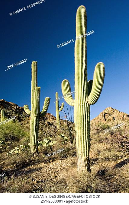 Saguaro Cactus (Carnegiea gigantea) aka (Cereus giganteus), Saguaro National Park West, Tucson, Arizona