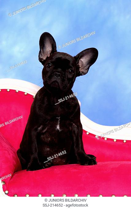 French Bulldog. Puppy (12 weeks old) sitting on a chaise longue. Studio picture against a blue background. Germany