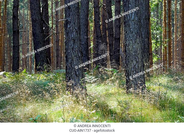 Pinus sylvestris, Scots Pine