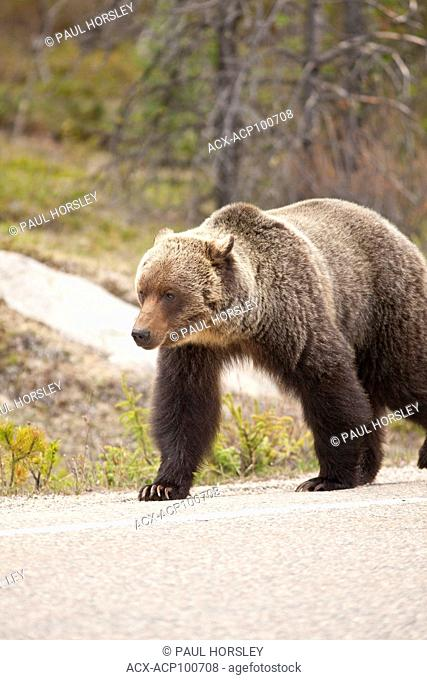 Male Brown Bear crossing Highway 93, Jasper National Park, Alberta, Canada
