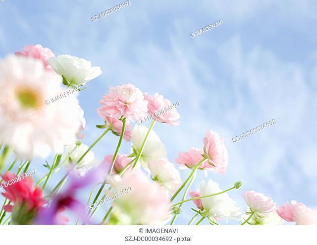 Ranunculus and Transvaal Daisy