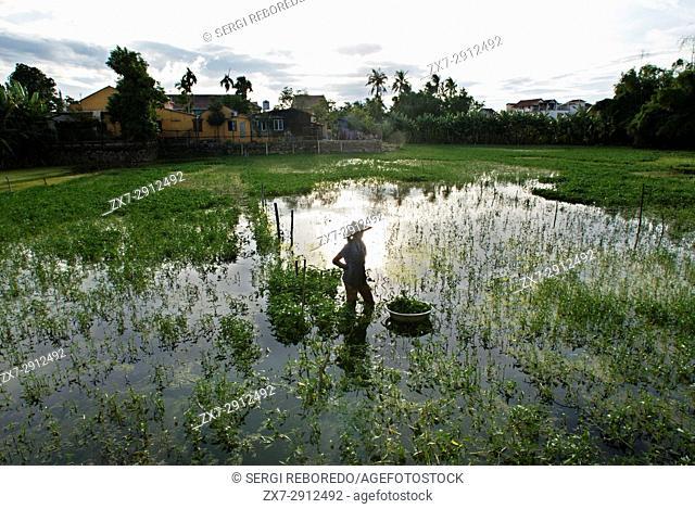 Women tending fields. Hoi An, Vietnam. Vietnam, Quang Nam province, around Hoi An, Rice fields