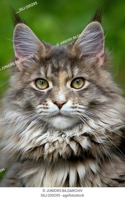 American Longhair, Maine Coon. Portrait of adult cat. Germany