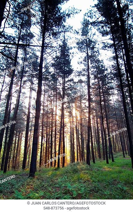 Bosque de pinos al amanecer en Mallabia. Vizcaya. Pais Vasco