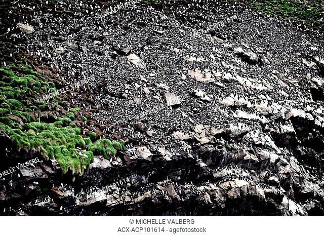michelle valberg, valberg imaging, canadian nikon ambassador, newfoundland, birds, thick-billed murre, Brünnich's guillemot, Uria lomvia, auk family,Alcidae