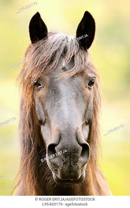 Black horse portrait, Carlit region, Pyrenees, France