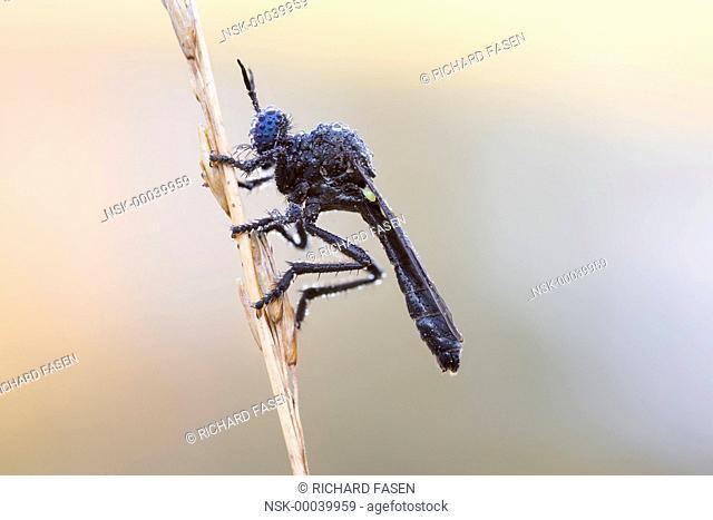 Violet Black-legged Robber Fly (Dioctria atricapilla) hunting from stem covered with dew, The Netherlands, Noord-brabant, Veldhoven, Dommeldal